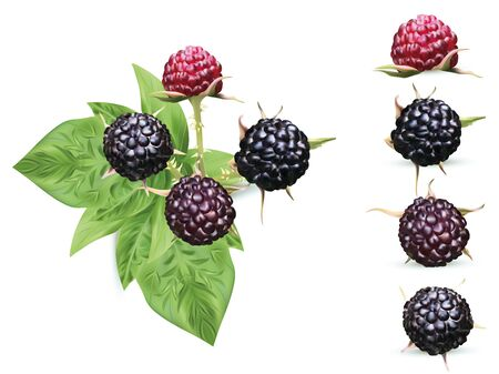 3D realistic black raspberry isolated on white background. Collection ripe black raspberry with green leaft. Fresh berries closeup. Vector illustration.