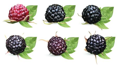 Collection fresh ripe blackberry with green leaves isolated on white background. Summer berry closeup. Beautiful black raspberry. Banner. Vector illustration.