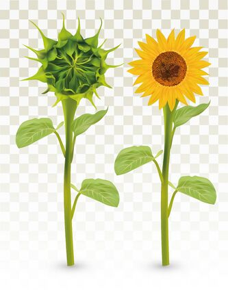 3D Realistic Sunflower with Green bud. Summer flower with green leaf. Sunflower and green bud on transparent background. Nature, ecology, banner. Beautiful Vector illustration.