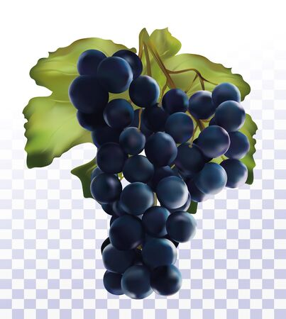 3D realistic dark blue grapes. Wine grapes isolated on transparent background. Fresh fruit. Grapes close up. Vector illustration