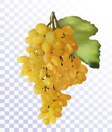Fresh white grapes on transparent background. Wine grape, table grapes. 3D realistic grape. Food concept. Vector illustration. Illustration