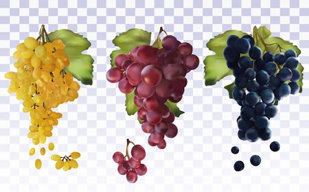 Wine grapes. Collection with three grapes red, dark blue, white. Table grapes. Icon set grapes. 3D realistic fresh grapes. Vector illustration.