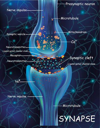 Células de sinapsis de anatomía. Señal de transmisión de impulso en un organismo vivo. Señalización en el cerebro. Las conexiones de sinapsis en el cerebro forman pensamientos, aprendizaje de conceptos. Estructura de la sinapsis para uso educativo, médico y biológico. Pulsos electrónicos de sinapsis. Ilustración vectorial
