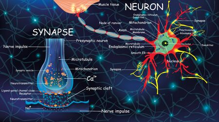 Anatomy neyron and synapse. Signaling in the brain. Cells neyron and synapse with descriptions. Structure neyron for educational, medical, biological use.Transmission of impulses in a living organism.