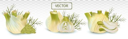 3D realistic fennel with green leaf. Aromatic spices isolated on transparent background. Set vector illustration