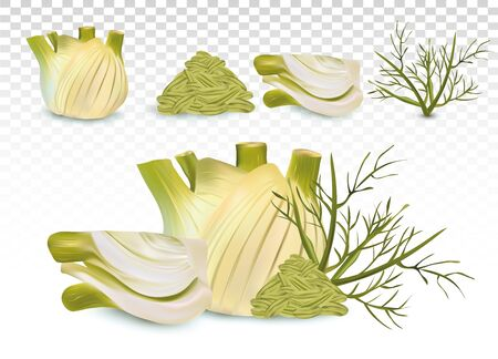 3D realistic fennel with green leaf and seeds. White fennel with green stems. Spices for your menu isolated on transparent background. Vector illustration.