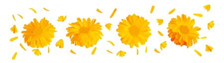 3d realistic marigold flower. Calendula isolated on white background. Top view. Beautiful illustrator. Calendula close up.