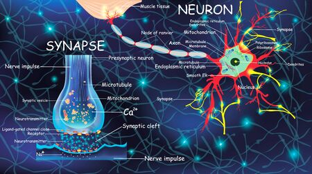 Anatomy neuron and synapse. Signaling in the brain. Cells neuron and synapse with descriptions. Structure neuron for educational, medical, biological use.Transmission of impulses in a living organism