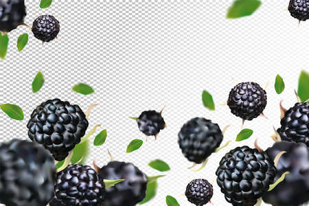 Black raspberry background. Flying black raspberry with green leaf on transparent background.Black raspberry falling from different angles. Motion black raspberry fruits are whole. Vector