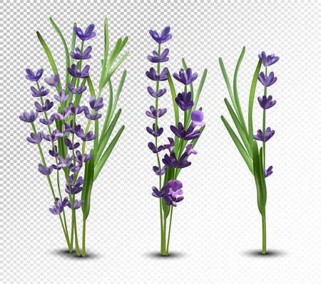 3D realistic flowers lavender with green leaf. Collection bouquet lavender. Fragrant lavender on transparent background. Bunch beautiful lavender closeup. Vector illustration