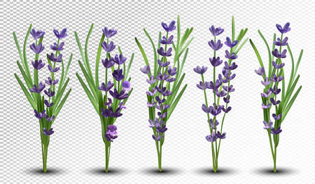3D realistic fragrant bunch lavender. Bunch beautiful lavender on transparent background. Tender violet lavender. Big collection flower lavender with green leaf. Vector illustration.