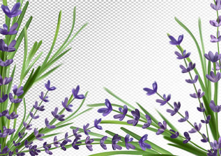 Bunch aroma lavender. Violet Lavender background.3d realistic flower lavender. Fragrant lavender. Vector illustration.