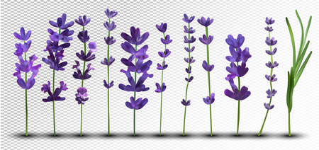 Big collection realistic flowers violet lavender. Tender bouquet lavender. Fragrant lavender on transparent background. Bunch beautiful lavender closeup. 3d vector illustration