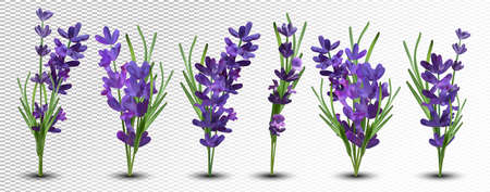 Collection violet lavender with green leaf isolated on white background. Bunch flower. Lavender close up. Fragrant lavender. 3d vector illustration