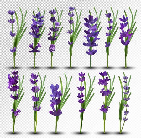 Bunch beautiful violet flowers. Lavender isolated on white background. Fragrant bunch lavender. Tender bouquet of lavender. 3d vector illustration Ilustracja