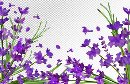 Lavender background. Beautiful violet lavender on transparent background. Aroma lavender in motion. Flying lavender. Vector illustration.