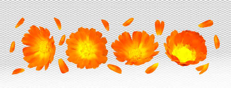 3d realistic calendula on transparent background. Fragrant flower marigold close up. Medicine calendula. Vector illustration.