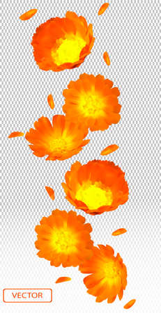 3d realistic calendula on transparent background. Flower marigold close up. Falling calendula flower from different angles. Medicine calendula. Vector illustration. Ilustracja