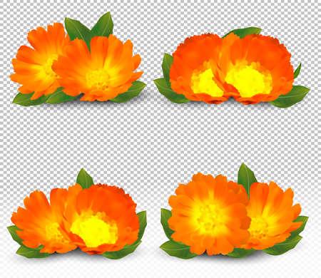 3d realistic calendula on transparent background. Fragrant flower marigold close up. Medicine calendula. Vector illustration. Zdjęcie Seryjne - 154383980