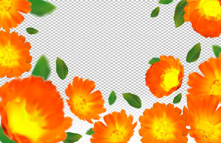 3d realistic calendula on transparent background. Flower marigold close up. Falling calendula flower from different angles. Flying calendula with green leaf. Medicine calendula. Vector illustration.