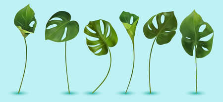 Monstera with split-leaf foliage that grows in the wild. Six green tropical leaf on blue background. 3d realistic vector icon. Ilustracja