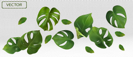 Tropical green leaves monstera on a transparent background. Banner for perfumes, cosmetic products, medicine. 3d realistic monstera leaf. Vector illustration. Zdjęcie Seryjne - 154528496