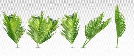 Tropical exotic leaf from different angles. 3D realistic palm leaves on transparent background. Icon set. Vector illustration. Zdjęcie Seryjne - 154528551