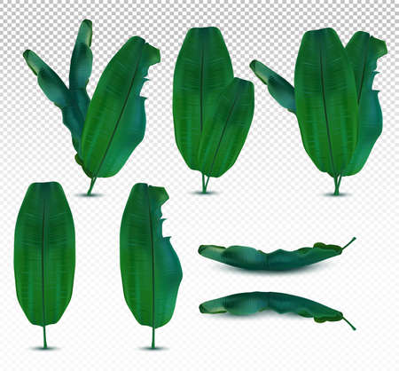 3D realistic exotic tropical leaf. Collection banana leaves from different angles on transparent background. Icon set. Vector illustration. Zdjęcie Seryjne - 154528567