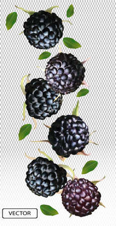 Blackberry from different angles. Whole black raspberry with green leaf on transparent background. Fresh summer berry. Illustration for your poster, banner, natural product. Vector illustration. Ilustracja