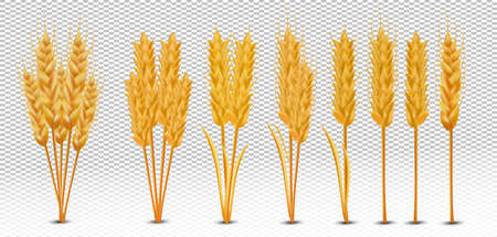 Wheat ears with grains on transparent background. Yellow whole stalks wheat, organic product, agriculture. Set realistic wheat ears. Vector illustration Zdjęcie Seryjne - 154760777