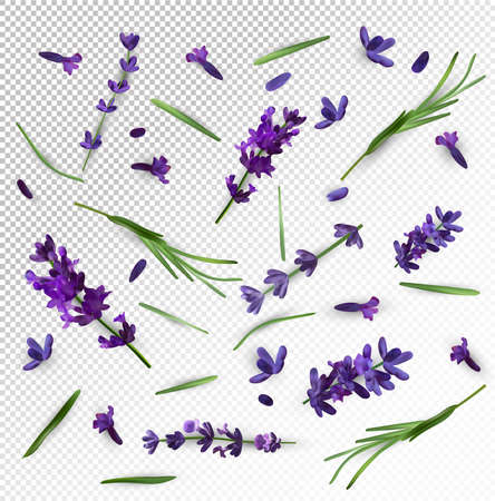 Beautiful violet lavender flower on transparent background. Banner with lavender flowers for perfumery, health products, wedding invitation. Vector illustration.