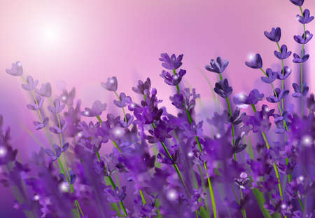 Blooming violet lavender field. Flowers lavender glitter over at sunset. Violet fragrant lavender flowers. Illustration with for perfumery, health products, wedding.
