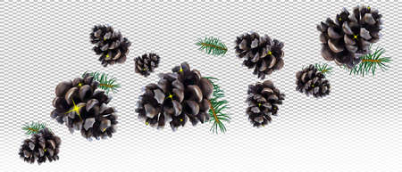 Realistic pine cone and conifer tree branches pine on transparent background. Isolated Christmas pine cones for your decor. Vector illustration.