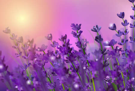 Violet lavender field. Flowers lavender and sunset glitter over. Blooming Violet fragrant lavender flowers. Illustration with for perfumery, health products, wedding. France. Vector illustration