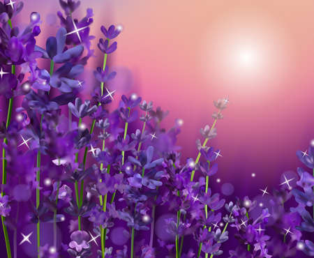Summer Sunset over a violet lavender flower. Fragrant, blooming violet lavender for perfumery, health products, wedding. France, Provence. Realistic vector illustration.
