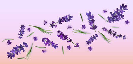 Collection violet flower lavender. Banner with lavender flowers for perfumery, health products, wedding invitation. Vector illustrations.