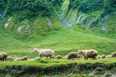 Sheep grazing at Truso Valley and Gorge  landscape with Zakagori Fortress on trekking / hiking route, in Kazbegi, Georgia.