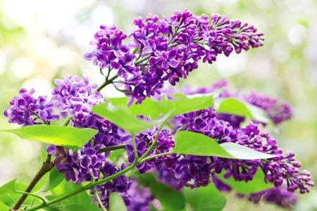 purple flowers: Close up of branches with blooming lilac in spring time
