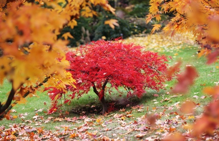 A maple tree in a autumn japanese style garden photo