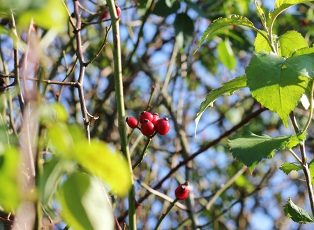Abstract close up of branches with green leaves and red berries photo
