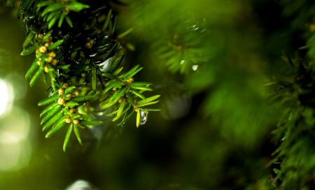 Close up of branches of coniferous tree with water drops  photo