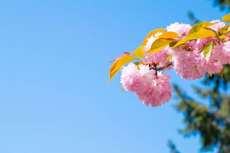 Cherry blossom against a bright blue sky. Front views with clear space.
