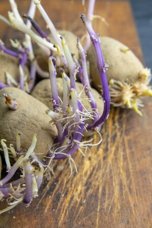 Sprouted potatoes for planting on a rustic wooden background. Top view, close-up.