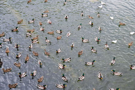 Ducks in the river