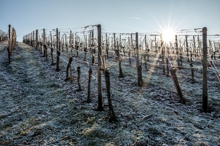 The first snow on vineyards in the winter solar morning.