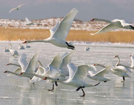 Swan in caspian sea photo