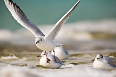 Sea gulls fly. Kazakhstan.  Mangistau region photo