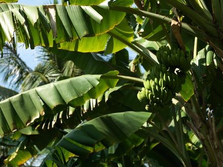 Banana Bunch basking in the morning sun - Banana tree growing near our huts