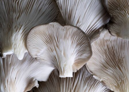 Detail of group of mushrooms pleurotus ostreatus.