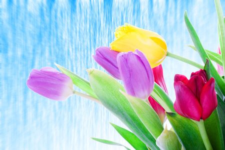 Spring tulips isolated on a white background photo